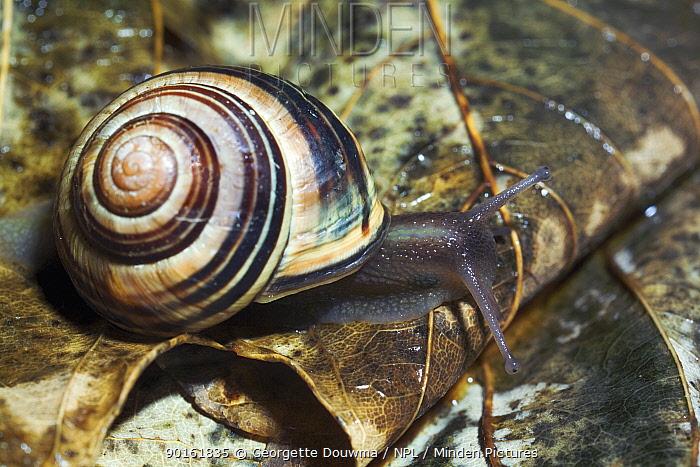 White lipped banded snail (Cepaea hortensis) UK  -  Georgette Douwma/ npl