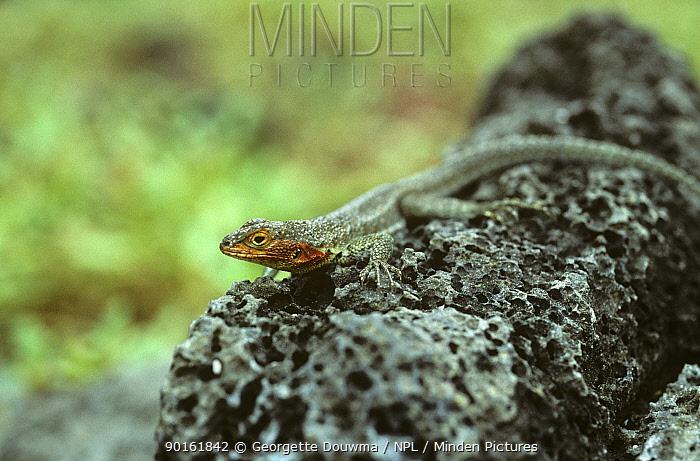 Lava lizard (Tropidurus sp) Galapagos  -  Georgette Douwma/ npl