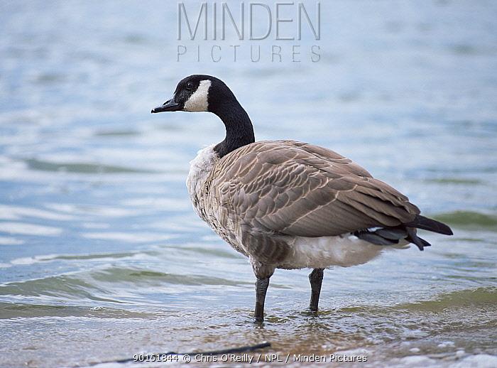 Canada goose (Branta canadensis) Nottinghamshire, UK  -  Chris O'Reilly/ npl