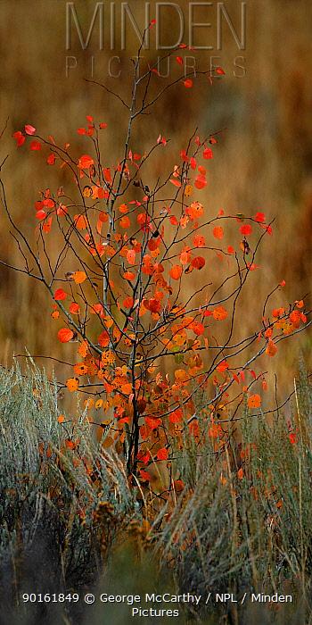 Small Aspen Tree (Populus tremula) sapling with crimson coloured autumn leaves, Grand Teton National Park, Wyoming, USA  -  George Mccarthy/ npl