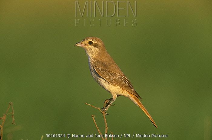 Isabelline shrike, juvenile (Lanius isabellinus) Oman  -  Hanne & Jens Eriksen/ npl