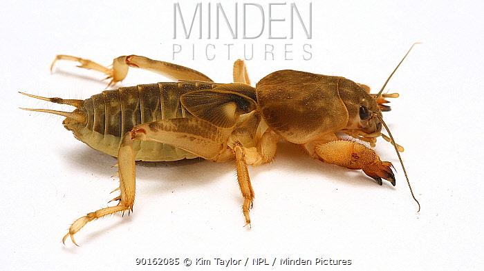 Mole cricket (Gryllotalpa sp) Trinidad, West Indies  -  Kim Taylor/ npl