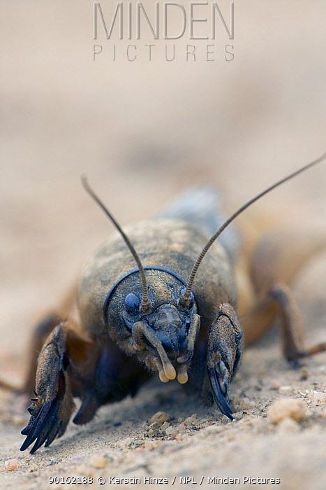 Portrait of European Mole Cricket (Gryllotalpa gryllotalpa) showing fossorial (modified for digging) legs, Zagrazden, Bulgaria  -  Kerstin Hinze/ npl