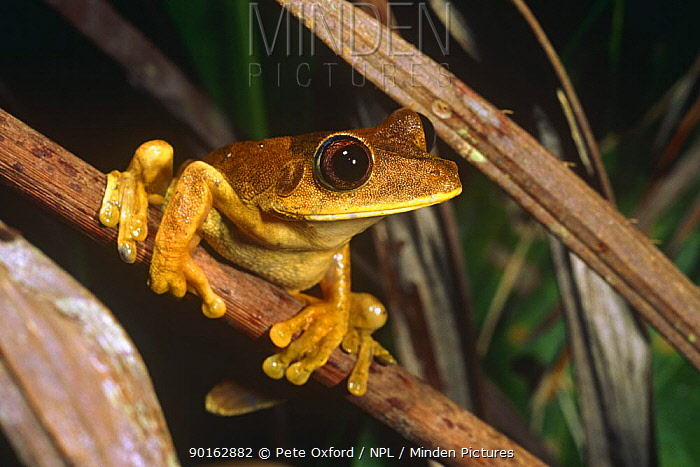 Map tree frog (Hyla geographica) Yasuni NP, Ecuador  -  Pete Oxford/ npl