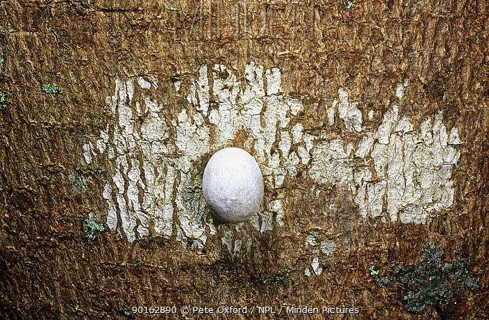 Gecko egg cemented onto bark of tree trunk, Ankarana SR, Madagascar  -  Pete Oxford/ npl