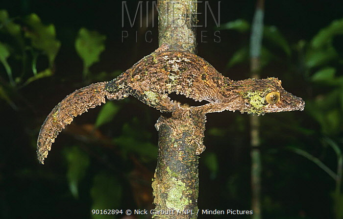 Leaf tailed gecko (Uroplatus sikorae) foraging at night, Mantadia NP, Madagascar  -  Nick Garbutt/ npl