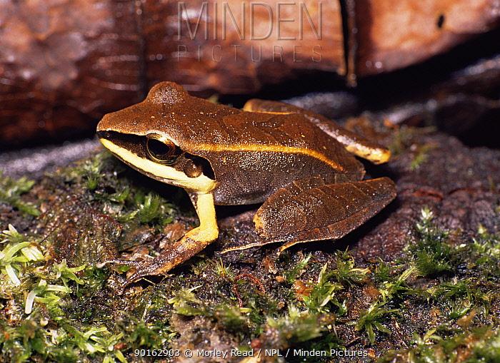 Frog (Eleutherodactylus conspicillatus) Ecuador  -  Morley Read/ npl