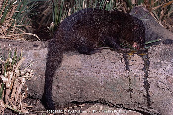 Marsh, water mongoose (Atilax paludinosus) male feeding on egg, captive, from Africa  -  Rod Williams/ npl