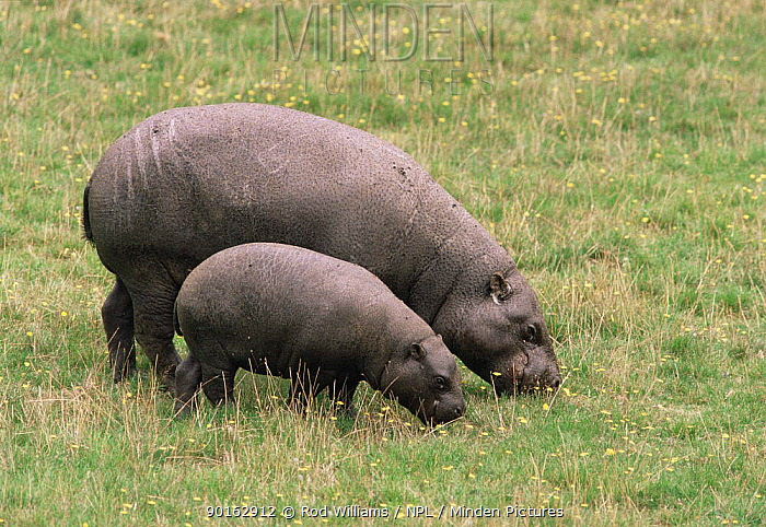 Pygmy hippopotamus (Choeropsis, Hexaprotodon liberiensis) female with young grazing, captive, from West Africa  -  Rod Williams/ npl