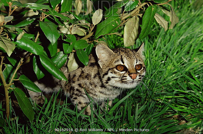 Little spotted cat (Felis trigrina) female, captive, from central and south america  -  Rod Williams/ npl