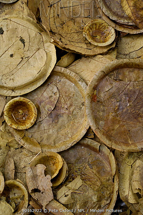 Disposable plates made from leaves for use at a wedding ceremoney Pushkar, Rajasthan, India, 2006  -  Pete Oxford/ npl