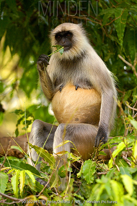 Hanuman, Black-faced, Common, Grey Langur (Presbytis entellus) female in tree, Mandore, nr Jodhpur Rajasthan India 2006  -  Pete Oxford/ npl