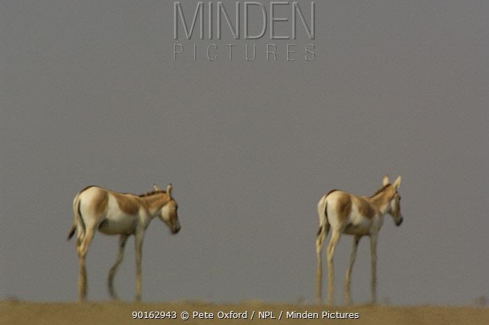 Asiatic Wild Ass, Kuhr (Equus hemionus khur) in mirage and heat haze, Rann of Kutch, Gujarat, SW India Endangered  -  Pete Oxford/ npl