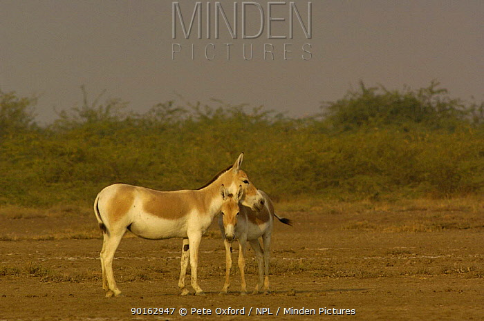 Asiatic Wild Ass, Kuhr (Equus hemionus khur) with foal, Rann of Kutch, Gujarat, SW India Endangered  -  Pete Oxford/ npl