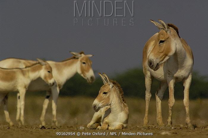 Asiatic Wild Ass, Khur (Equus hemionus khur) with foal, Rann of Kutch Gujarat, India, Endangered  -  Pete Oxford/ npl