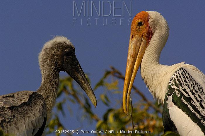 Painted stork on nest with chick (Mycteria leucocephala) Runn of Kutch, Gujarat India  -  Pete Oxford/ npl