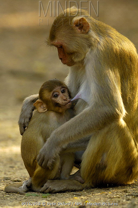 Rhesus Macaque (Macaca mulatta) mother suckling young, Bharatpur National Park, Keoladeo Ghana Sanctuary, Rajasthan, India  -  Pete Oxford/ npl