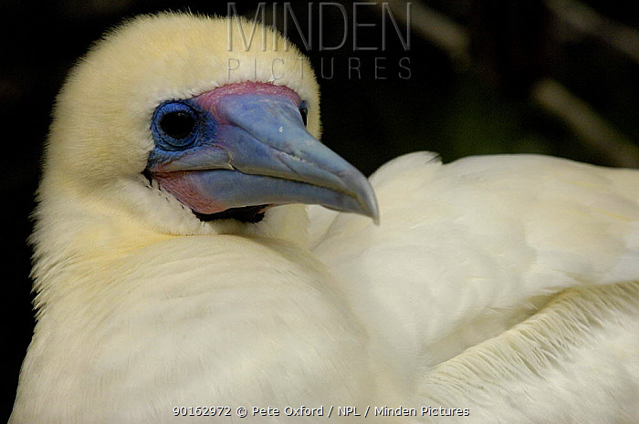 Red footed booby (Sula sula websteri) white morph,  -  Pete Oxford/ npl