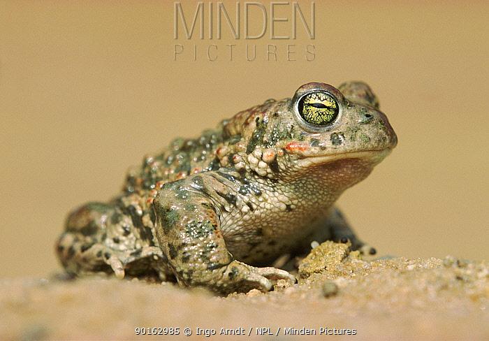 Natterjack toad (Bufo calamita) portrait Germany  -  Ingo Arndt/ npl