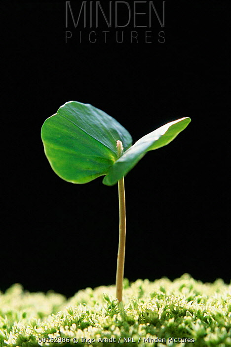 European beech seedling seed leaves (Fagus sylvatica) Germany Sequence 2, 2  -  Ingo Arndt/ npl