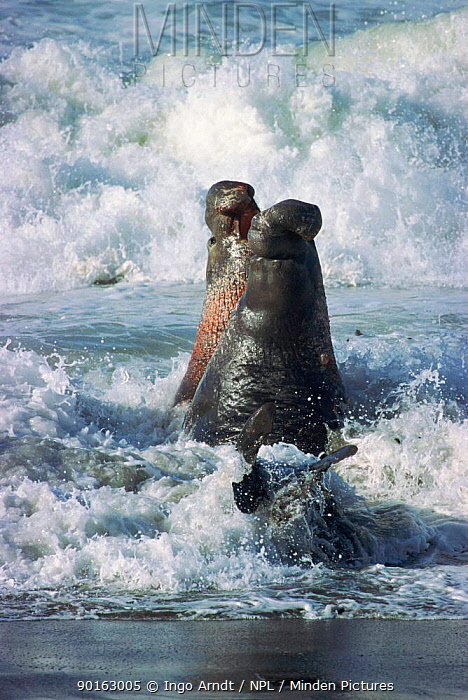 Northern elephant seal males fighting California, USA (Mirounga angustirostris)  -  Ingo Arndt/ npl