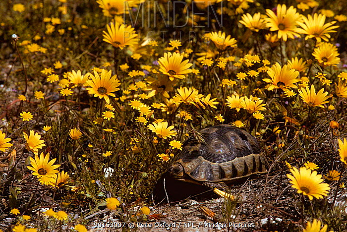 Bowsprit tortoise (Chersine angulata) amongst flowers, West Coast NP, South Africa  -  Pete Oxford/ npl