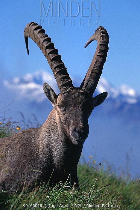 Alpine ibex resting (Capra ibex ibex) Switzerland  -  Ingo Arndt/ npl