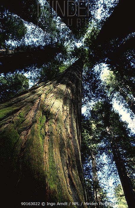 High angle shot of Redwood tree (Metasequoia sp) Redwood NP, California, USA  -  Ingo Arndt/ npl