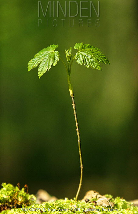 Sycamore seedling (Acer pseudoplatanus) Germany  -  Ingo Arndt/ npl