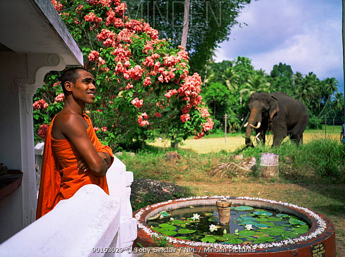 Buddhist priest and domesticated temple Asian elephant (Elephas maximus) in gardens, Pinnawella, Sri Lanka  -  Toby Sinclair/ npl