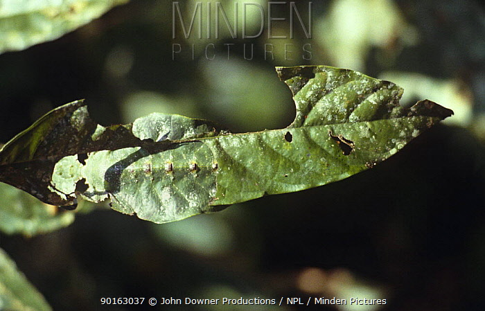 Malaysian leaf stick insect uses body to cover the hole it has eaten away (Phasmids)  -  John Downer/ npl
