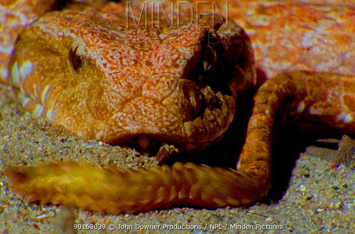Australian Death adder lures its prey by waving the tip of its tail like a writhing grub (Resolution restriction, image digitised from film, 'Weird Nature' tv series)  -  Peter Nearhos/ JDP/ npl