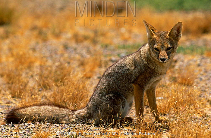 Argentine, Patagonian grey fox (Pseudolopex griseus) Penninsula Valdes, Argentina  -  Pete Oxford/ npl