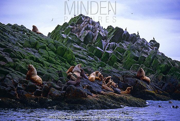 Steller's sealions (Eumetopias jubata) on haulout, Commander Islands, Russia  -  Pete Oxford/ npl