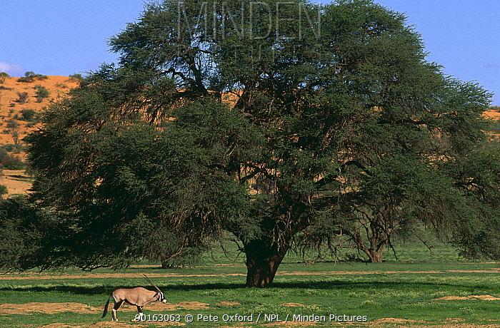 Gemsbok (Oryx gazella) in landscape, Kgalagadi transfrontier NP, South africa  -  Pete Oxford/ npl