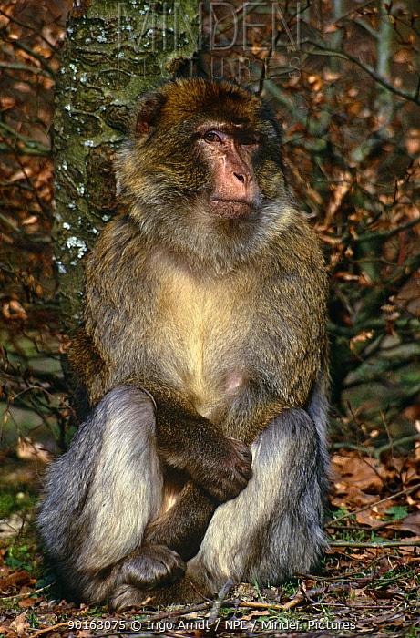 Barbary ape (Macaca sylvanus) Germany, Captive  -  Ingo Arndt/ npl