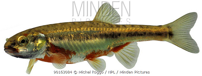 Minnow (Phoxinus phoxinus) spawning coloration, Europe  -  Michel Roggo/ npl