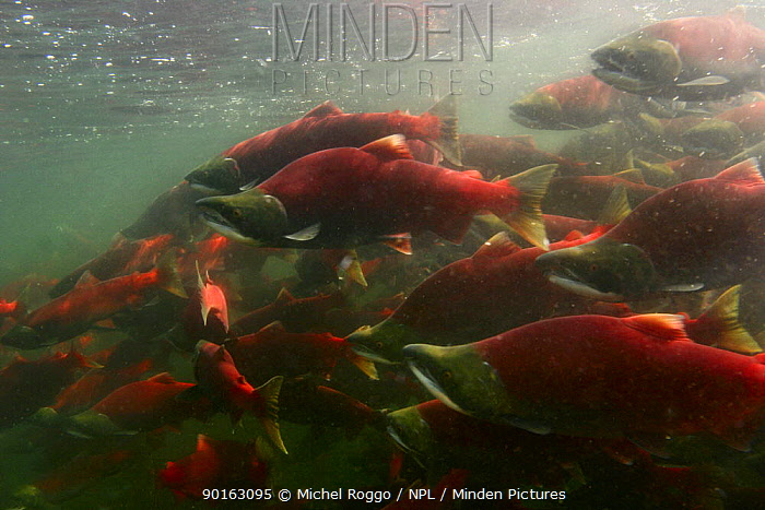 Sockeye, Red Salmon (Oncorhynchus nerka) waiting in lake to enter the Adams river for migration upstream, British Columbia, Canada 2006  -  Michel Roggo/ npl
