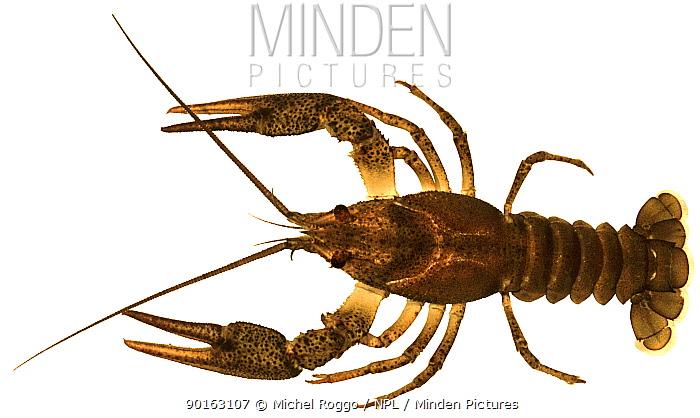 Galician crayfish (Astacus leptodactylus) Europe  -  Michel Roggo/ npl