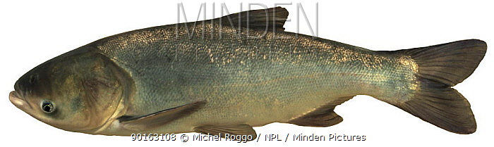 Bighead carp (Aristichthys nobilis) Europe  -  Michel Roggo/ npl