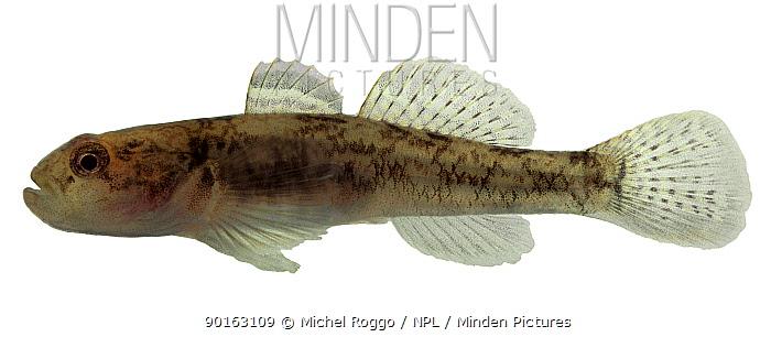 European freshwater goby, Ghiozzo (Padogobius bonelli) Europe  -  Michel Roggo/ npl