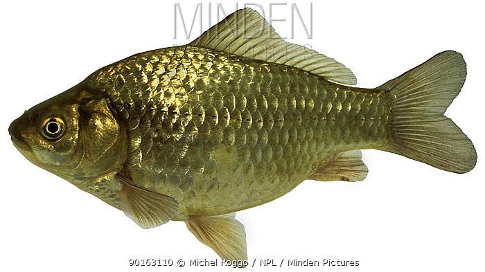 Prussian carp (Carassius auratus gibelio) Europe  -  Michel Roggo/ npl