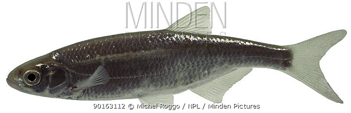 Bleak (Alburnus alburnus) Europe  -  Michel Roggo/ npl
