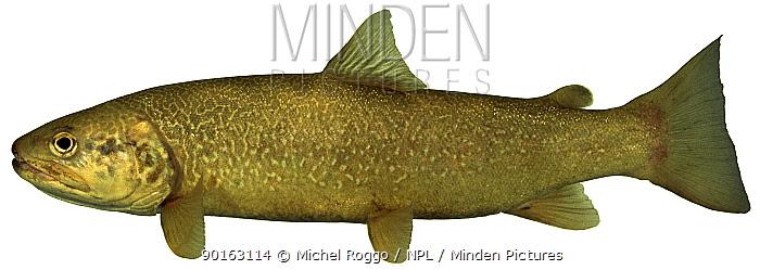 Marble trout (Salmo trutta marmorata) morph of the Brown Trout, Europe  -  Michel Roggo/ npl