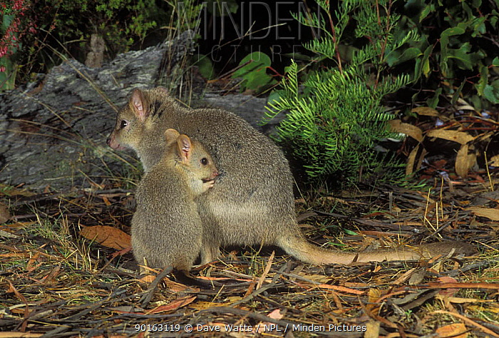 Tasmanian bettong (Bettongia gaimardi) Female with joey, Tasmania, Australia  -  Dave Watts/ npl
