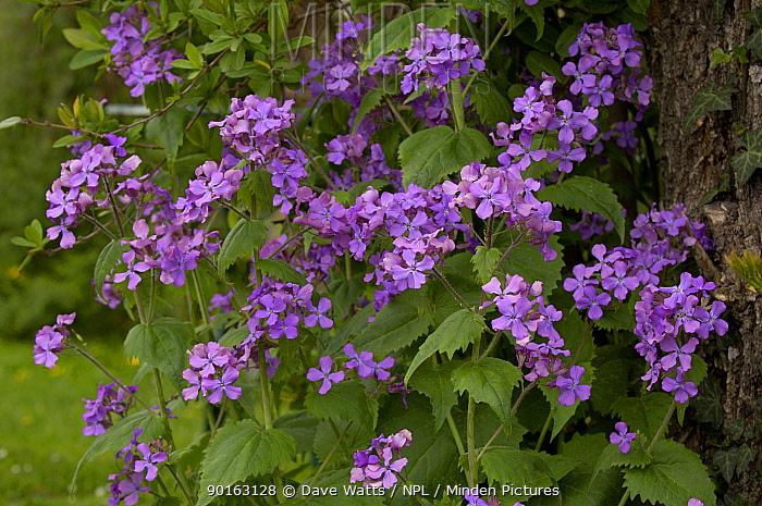 Annual Honesty in flower (Lunaria annua) UK  -  Dave Watts/ npl