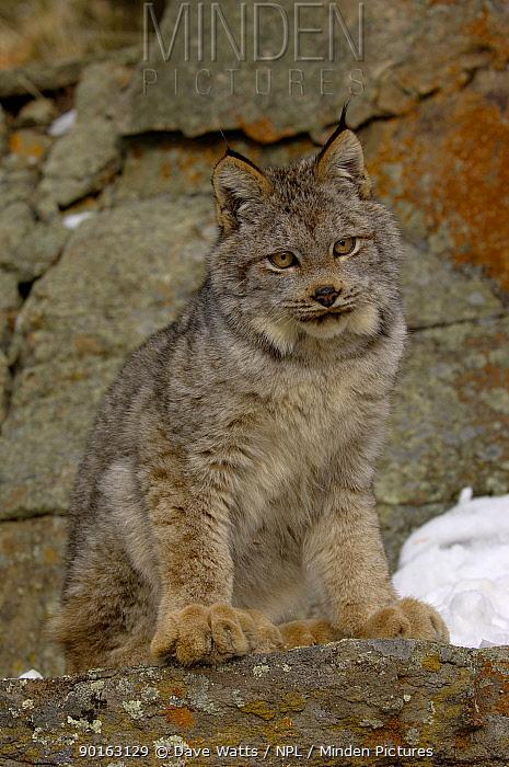 Canadian Lynx (Lynx lynx canadensis) Captive  -  Dave Watts/ npl