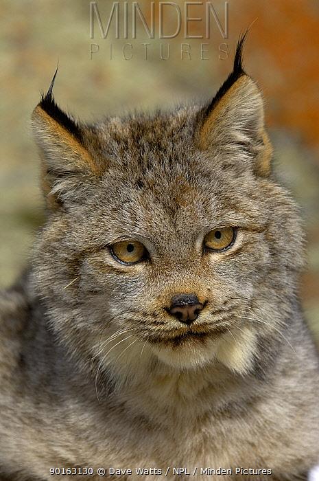 Canadian Lynx (Lynx lynx canadensis) head portraitm Captive  -  Dave Watts/ npl