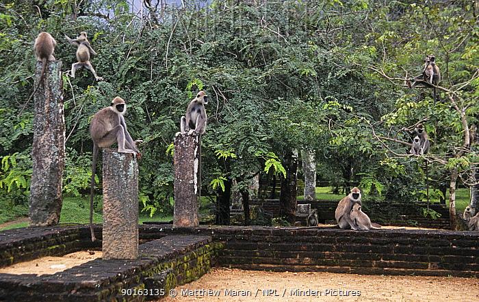 Hanuman Langur (Presbytis entellus) group amongst the Pollunaruwa ruins, Sri Lanka  -  Matthew Maran/ npl