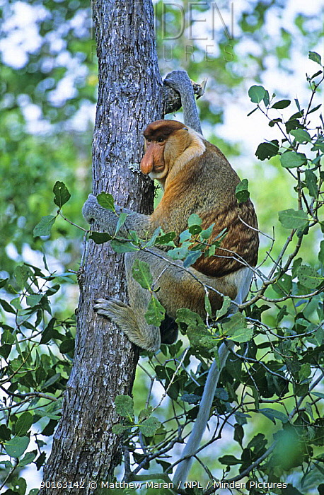 Proboscis Monkey (Nasalis larvatus) climbing tree in Mangrove forest, Bako National Park, Sarawak, Malaysia  -  Matthew Maran/ npl